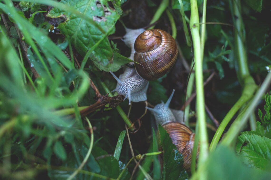 héliciculteur - élevage des escargots
